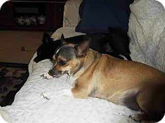 Chihuahua Mix Dog for adoption in Englewood, Florida - Puppy