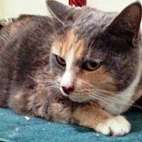 Calico Cat for adoption in Orange, California - Henny Penny