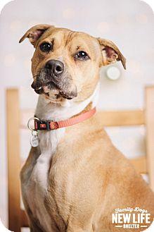 Pit Bull Terrier/Boxer Mix Dog for adoption in Portland, Oregon - Buddah