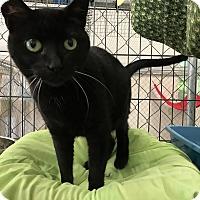 Domestic Shorthair Cat for adoption in Fallbrook, California - Regina