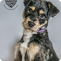 Adopt A Pet :: Sprocket - Inglewood, CA