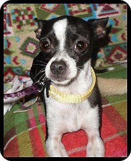 Chihuahua Dog for adoption in Tacoma, Washington - Charlie