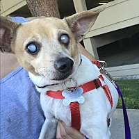 Jack Russell Terrier Mix Dog for adoption in beverly hills, California - Mary lou