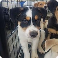 Adopt A Pet :: Superman - Ogden, UT