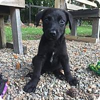 Adopt A Pet :: Atom - Summerville, SC