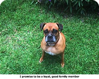 Boxer Dog for adoption in Houston, Texas - Mika