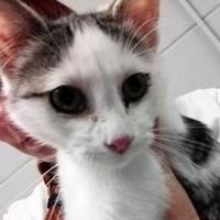 Adopt A Pet :: Sensei - Paducah, KY