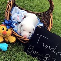 Adopt A Pet :: TUNDRA - Pennsville, NJ