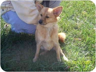 Pomeranian Mix Dog for adoption in Shelbyville, Kentucky - Maggie