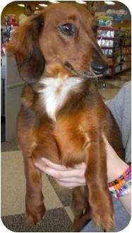 Dachshund Dog for adoption in Humble, Texas - Peanut