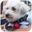 Photo 2 - Bichon Frise Mix Dog for adoption in La Costa, California - Angelina & Brad