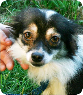 Chihuahua Mix Dog for adoption in Spring Valley, New York - Princess