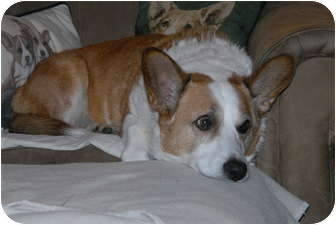 Cardigan Welsh Corgi Dog for adoption in Murfreesboro, Tennessee - Gimli