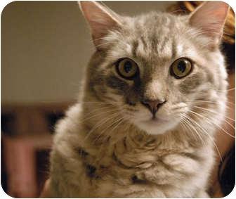 Domestic Longhair Cat for adoption in Lunenburg, Massachusetts - Smokey Joe