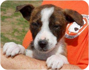 Shepherd (Unknown Type)/Boxer Mix Puppy for adoption in Westbrook, Connecticut - Kibbles