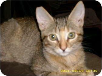 Domestic Shorthair Cat for adoption in Brea, California - FOXY