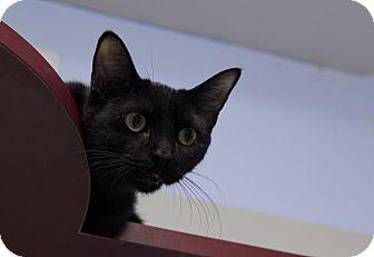 Domestic Shorthair Cat for adoption in Chicago, Illinois - Cieran