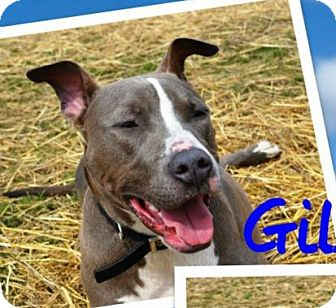 American Staffordshire Terrier/Terrier (Unknown Type, Medium) Mix Dog for adoption in Troy, Michigan - Gilbert