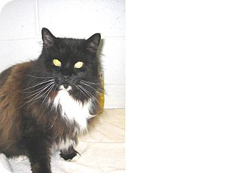 Domestic Mediumhair Cat for adoption in North Kingstown, Rhode Island - Patterson