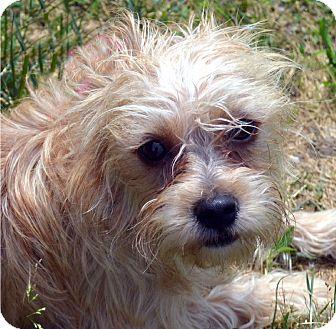 Cairn Terrier Mix Dog for adoption in Bridgeton, Missouri - Ellie