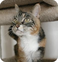 Domestic Shorthair Cat for adoption in Sacramento, California - Marie