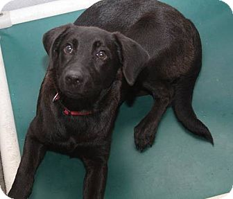 Labrador Retriever Mix Puppy for adoption in Pompton Lakes, New Jersey - Midnight