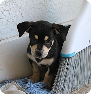 Chihuahua/Dachshund Mix Puppy for adoption in Loxahatchee, Florida - JACK