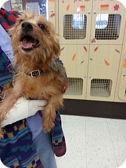 Silky Terrier Dog for adoption in Orland Park, Illinois - Gizmo