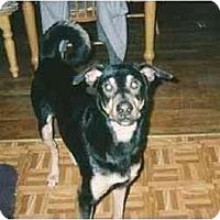 Adopt A Pet :: Sweet Shepherd Boy! - Quincy, MA
