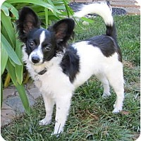 Adopt A Pet :: Domino - San Diego County, CA