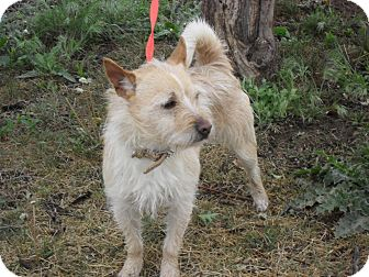 Terrier (Unknown Type, Small) Mix Dog for adoption in Fort Lupton, Colorado - Yoshi