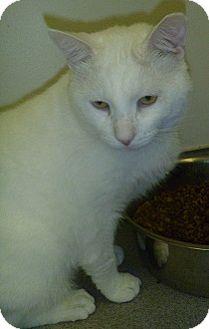 Domestic Shorthair Cat for adoption in Hamburg, New York - Arista
