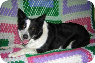 Border Collie/Blue Heeler Mix Dog for adoption in Portland, Oregon - Heather