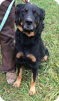Rottweiler Dog for adoption in Cincinnati, Ohio - Gunther