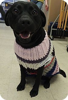 Labrador Retriever Mix Dog for adoption in Sullivan, Missouri - Hattie
