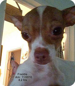 Chihuahua Mix Dog for adoption in San Diego, California - Freddie