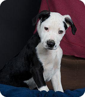 Labrador Retriever/Terrier (Unknown Type, Medium) Mix Puppy for adoption in Nuevo, California - Moe