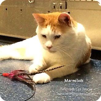 Domestic Shorthair Cat for adoption in Oakville, Ontario - Marmelade