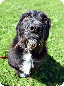 Scottie, Scottish Terrier Mix Dog for adoption in Fremont, Nebraska - Agnus