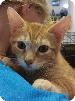 Domestic Shorthair Kitten for adoption in Schertz, Texas - Myles is a love bug!