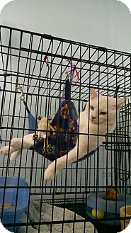 Turkish Van Cat for adoption in San Dimas, California - Olaf