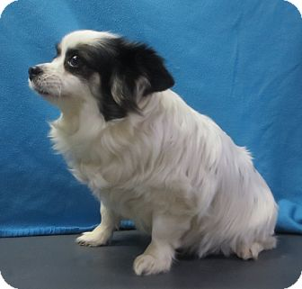 Papillon/Pomeranian Mix Dog for adoption in Colville, Washington - Chrissy