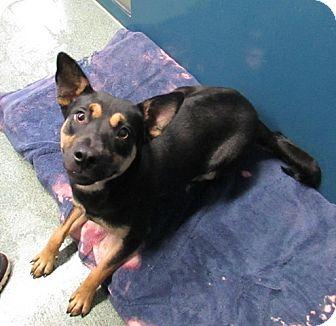 Shepherd (Unknown Type) Mix Dog for adoption in Warrenton, North Carolina - Della
