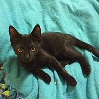 Domestic Shorthair Kitten for adoption in Woodland Hills, California - Lennox