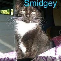 Domestic Shorthair Cat for adoption in Satellite Beach, Florida - Smidgey & Braveheart