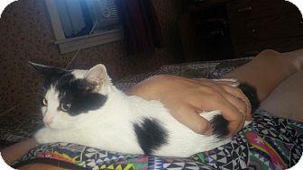 Domestic Shorthair Kitten for adoption in Boston, Massachusetts - Misty