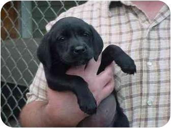 Cocker Spaniel/Labrador Retriever Mix Puppy for adoption in Northville, Michigan - Luna