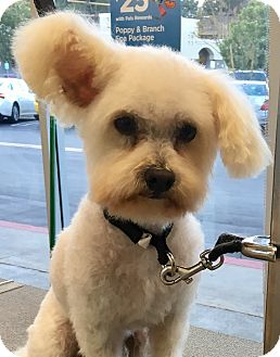 Poodle (Toy or Tea Cup) Dog for adoption in San Pedro, California - Silas