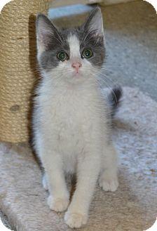 Domestic Mediumhair Kitten for adoption in Michigan City, Indiana - Trick