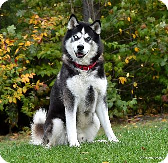 Alaskan Malamute/Husky Mix Dog for adoption in Westminster, Maryland - Loki
